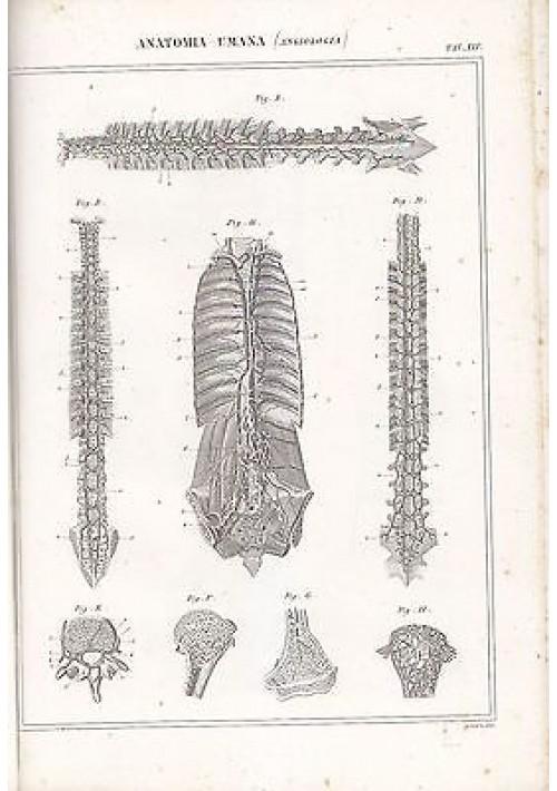 ANATOMIA UMANA ANGIOLOGIA colonna vertebrale INCISIONE STAMPA RAME 1866 TAVOLA