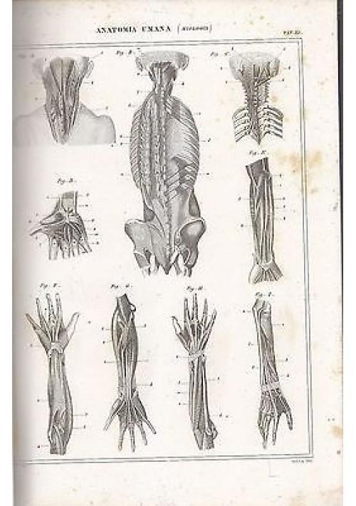 ANATOMIA UMANA MIOLOGIA MUSCOLI mani INCISIONE STAMPA RAME 1866 TAVOLA ORIGINALE